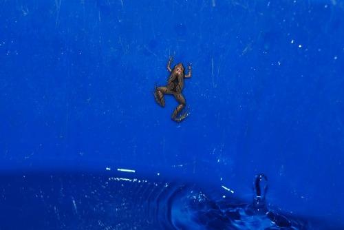 Frog_drop