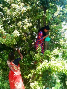 Neha and her mother picking Kafal fruit (berries)