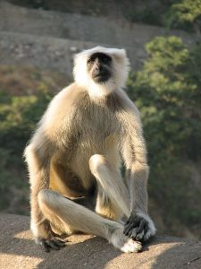 The langur monkey (not my image--from wikimedia)