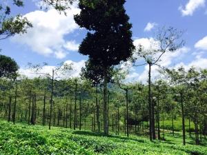 Connemara tea plantation in Kerala