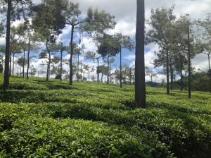 Tea plantation in Thekkady