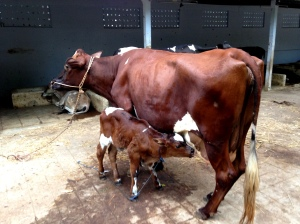 A new calf nursing at a dairy in Salem, Tamil Nadu