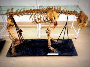 A Leopard Skeleton in the Anatomy Museum