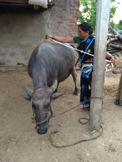 Measuring a the girth of a water buffalo for weight estimation