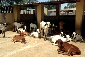 Lounging Livestock at the Hyderabad Veterinary College